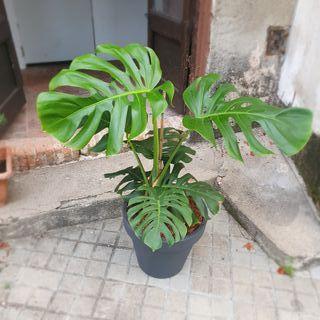 Planta, Costilla de Adán, Monstera Deliciosa