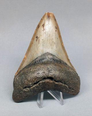 Diente Fósil de Tiburón Megalodon