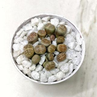 Mini Lithops #2 | 5,5CM | Plantas piedra | Piedras