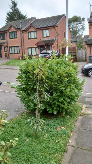 Laurel hedge free 5ft take it all or cuttings