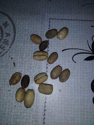 semilla palmera canaria