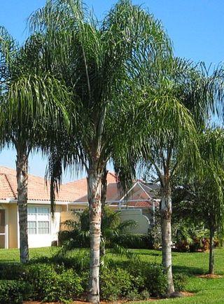 Semillas de Coco Plumoso (palmera tropical)