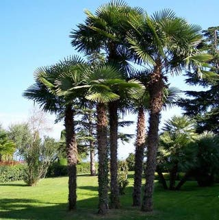 Semillas de palmera China