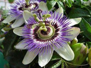 Regalo semillas de pasiflora