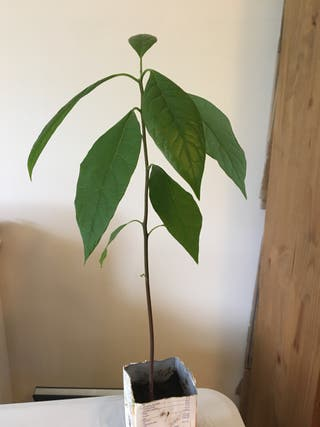 Indoor avocado plant
