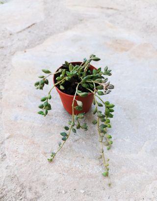 Senecio Herreianus ( string of beans)