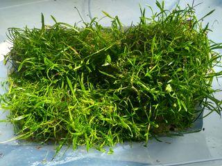lote plantas acuario - césped tapizante