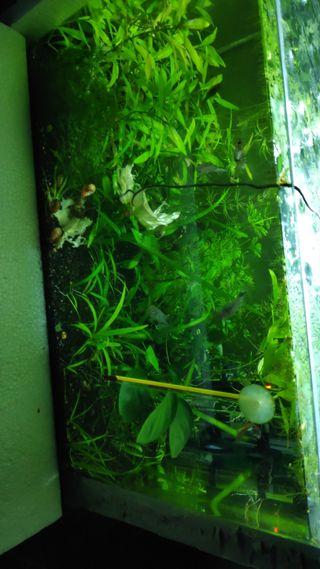 planorbis de calidad plantas acuario