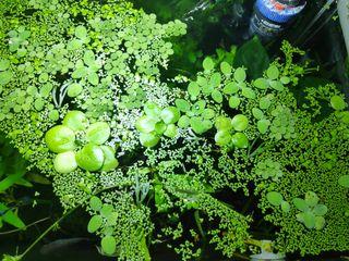 lote de plantas flotantes acuario