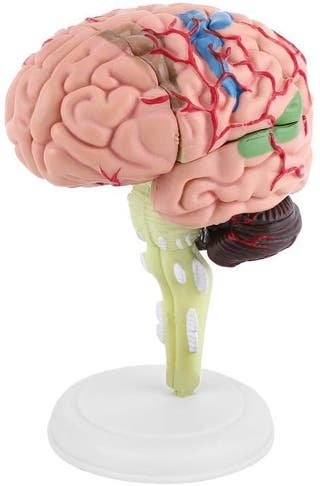 Aprendizaje del Modelo Cerebral, Modelo Anatómico
