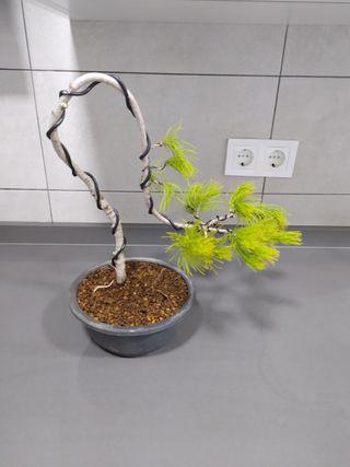 Bonsai pino halepensis