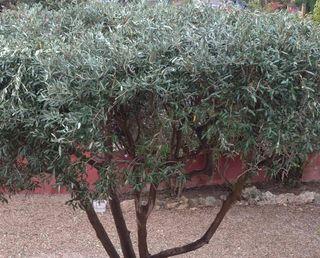 se recortan olivos y se podrán