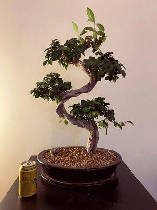 Bonsái ficus. plantado en akadama y kiriu