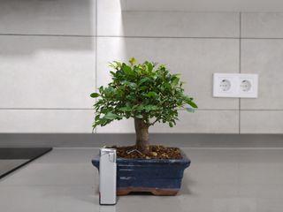 Bonsai zelkova parvifolia