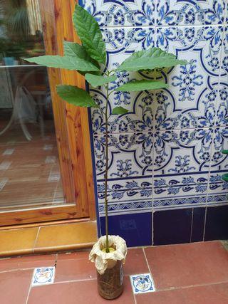 planta de aguacate
