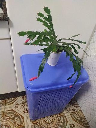 """Planta Natural """" Cactus de Navidad """""""