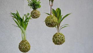 PLANTAS EN KOKEDAMA VARIADAS