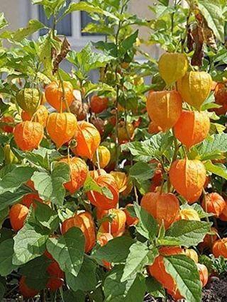 Plantones Physalis peruviana