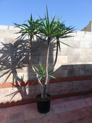 planta yuca