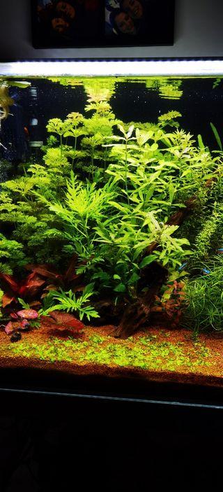 Poda plantas acuario