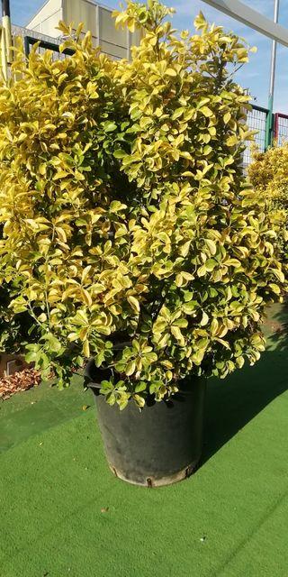 Planta Eonymus matizado