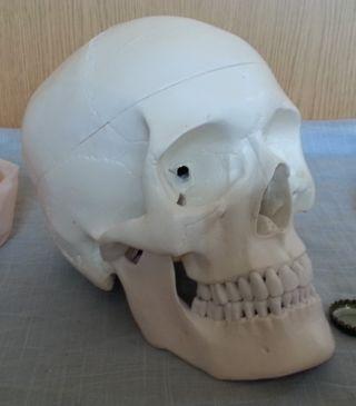 Cráneo humano. Replica. Didáctico.