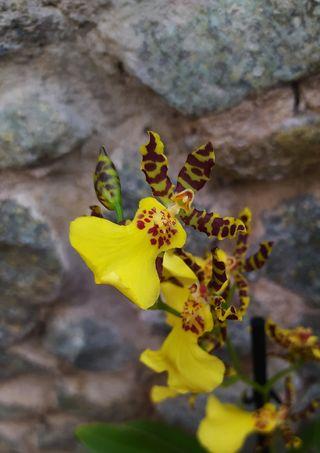 orquídea Oncidium