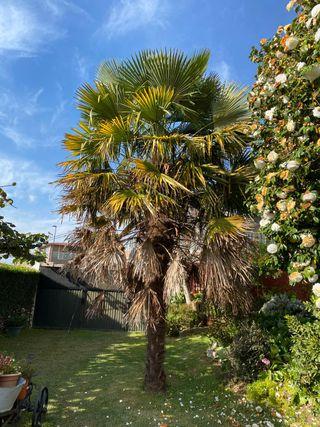 Se vende palmera