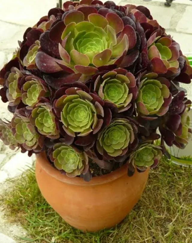 planta suculenta Aeonium