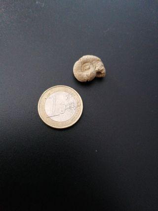 fósiles de amonites