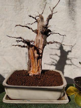 bonsai olmo minor