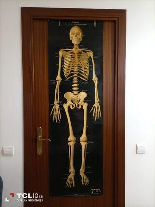 Espectacular póster esqueleto humano (152 x 47cm)