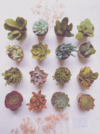 Gran Lote de Succulents de 16 variedades