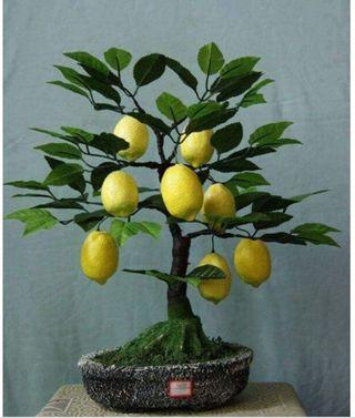 limonero bonsai