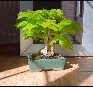 Bonsai Tilo