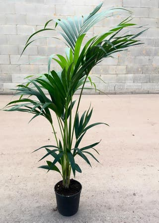 Planta palmera kentia
