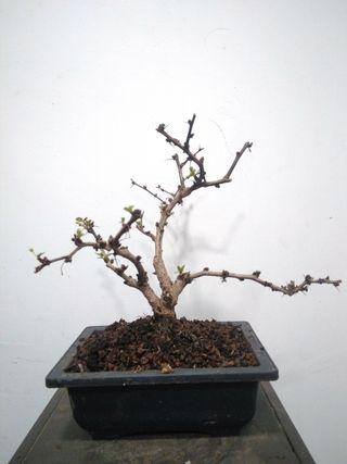 bonsai berberis