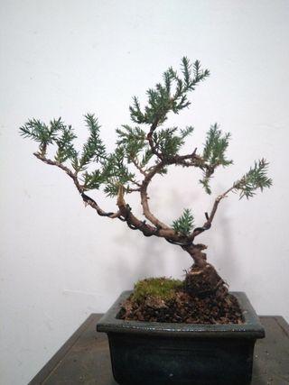 bonsai mame junipero