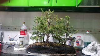 bosque piceas bonsai