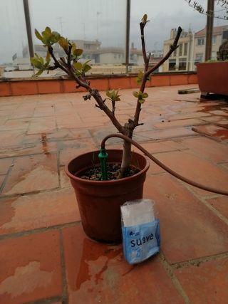 Manzano prebonsai de semilla