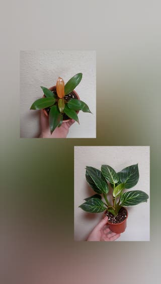 Pack Philodendron C.