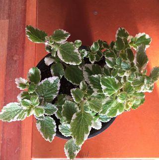 Planta bicolor y aromática
