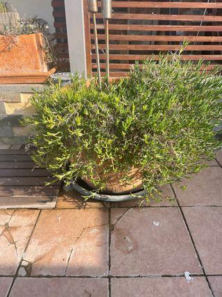 Planta grande de flor colgante morada.