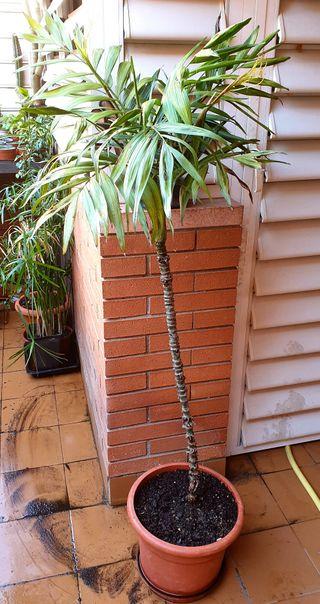Palmera tropical 1,50 altura Interior y exterior