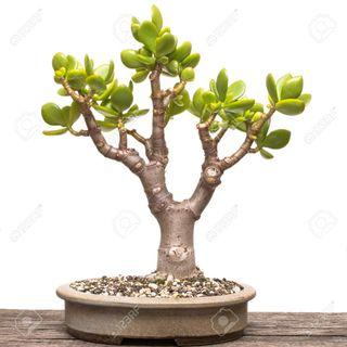 Árbol de Jade 5 últimos Interior y exterior