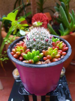 Suculentas, Sedum, Cactaceas y Plantas de Interior
